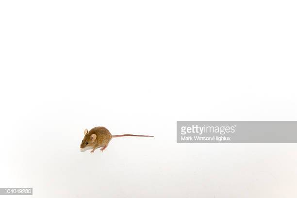 Mouse shot against neutral background