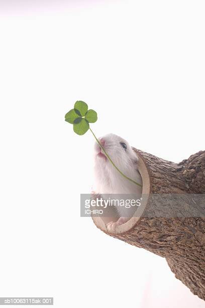 Mouse sitting in tree trunk, holding leaf-clover in mouth