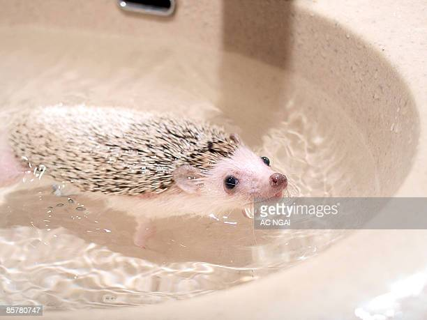 Mouse swimming in water