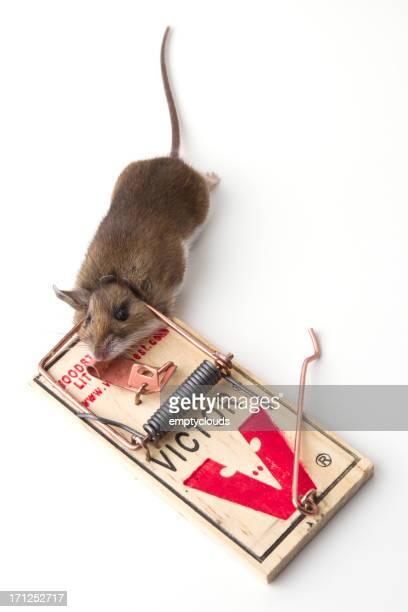 mouse trap - hjortmus bildbanksfoton och bilder