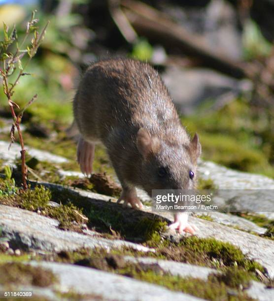 mouse walking in field - field mouse stock pictures, royalty-free photos & images