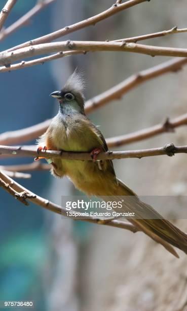 mousebird manchado (colius striatus) - manchado stock pictures, royalty-free photos & images