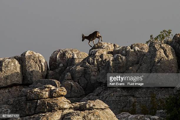 Moutain Goat Climbs Rocks at El Torcal