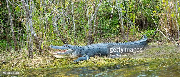 Mouth and teeth of an American alligator basking by Turner River on the Tamiami Trial Florida Everglades USA