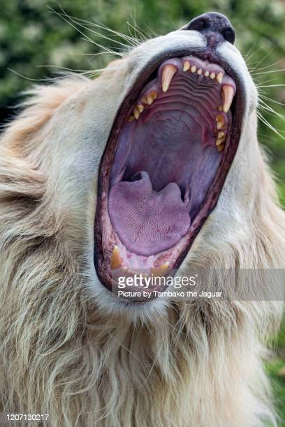 mouth big open - one animal stock pictures, royalty-free photos & images