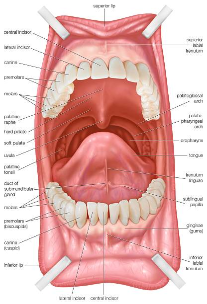 Mouth, Including Teeth And Roof Of Mouth Pictures | Getty Images