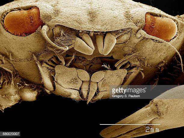 Mouth of crab, Panopeus sp SEM