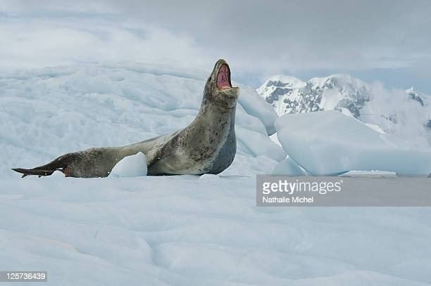 mouth of leopard seal