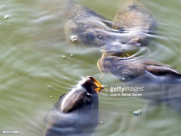 Mouths of fish (Cyprinus carpio)  out of the contaminated water, dying for lack of oxygen in the stagnant water.