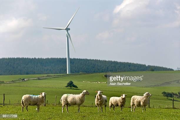 moutons de millevaches - alain bachellier photos et images de collection