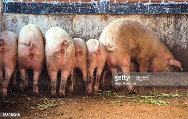 move over! - pigs trough stock pictures, royalty-free photos & images