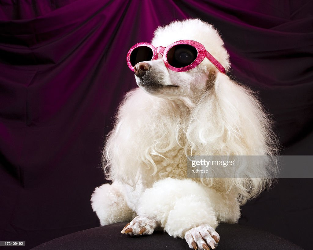 Movie Star Poodle Striking a Pose : Stockfoto