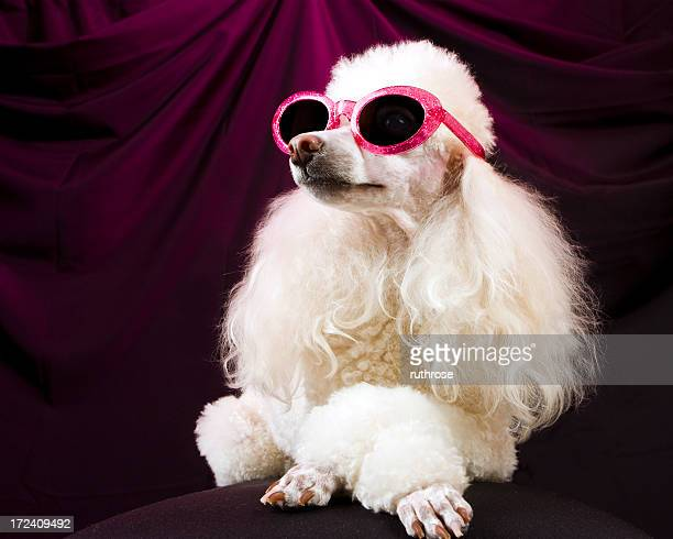 Movie Star Poodle Striking a Pose