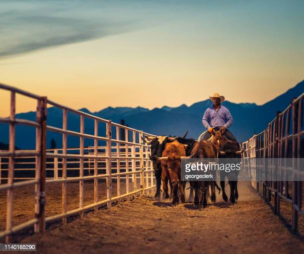 moving a group of steers at dusk - rancher stock pictures, royalty-free photos & images
