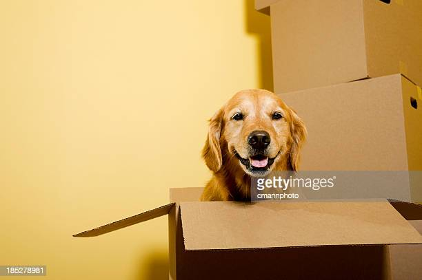 Moving - Happy Golden Retriever dog in cardboard box