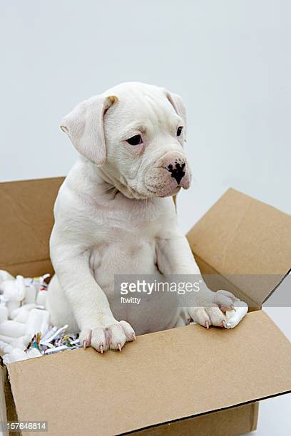 moving your pet vertical - american bulldog stock photos and pictures