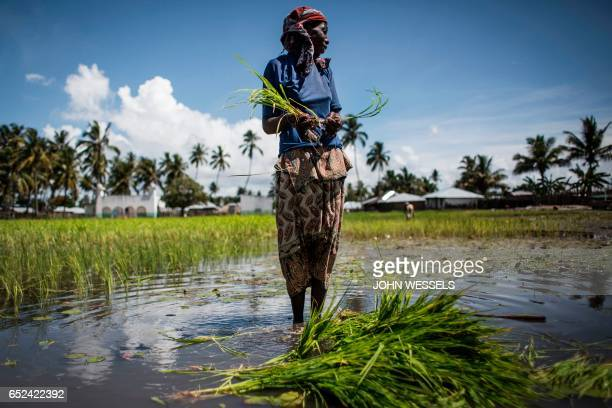 A Mozambican woman works in a rice paddy in Palma where large deposits of natural gas where found offshore on February 16 2017 / AFP PHOTO / JOHN...