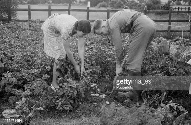 Mr and Mrs Keefe in an effort to 'Dig for Victory' use a fork to dig up and harvest potatoes on their allotment created from spare land in Dulwich...