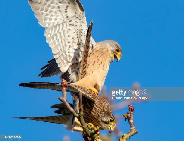 mr and mrs kestrel - eagles london stock pictures, royalty-free photos & images