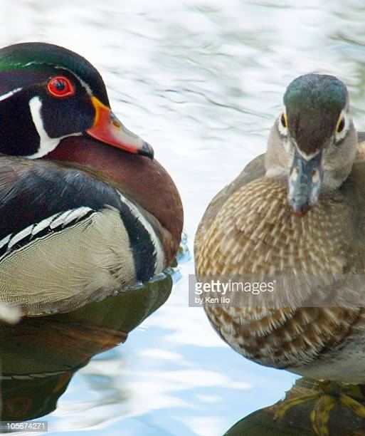 mr. and mrs. wood ducks (aix sponsa) - ken ilio stock pictures, royalty-free photos & images