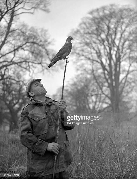 Mr Barnes a decoy expert from Litchfield holds a decoy pigeon on jointed rods during a Country Landowners' Association wood pigeon shoot at Meriden...