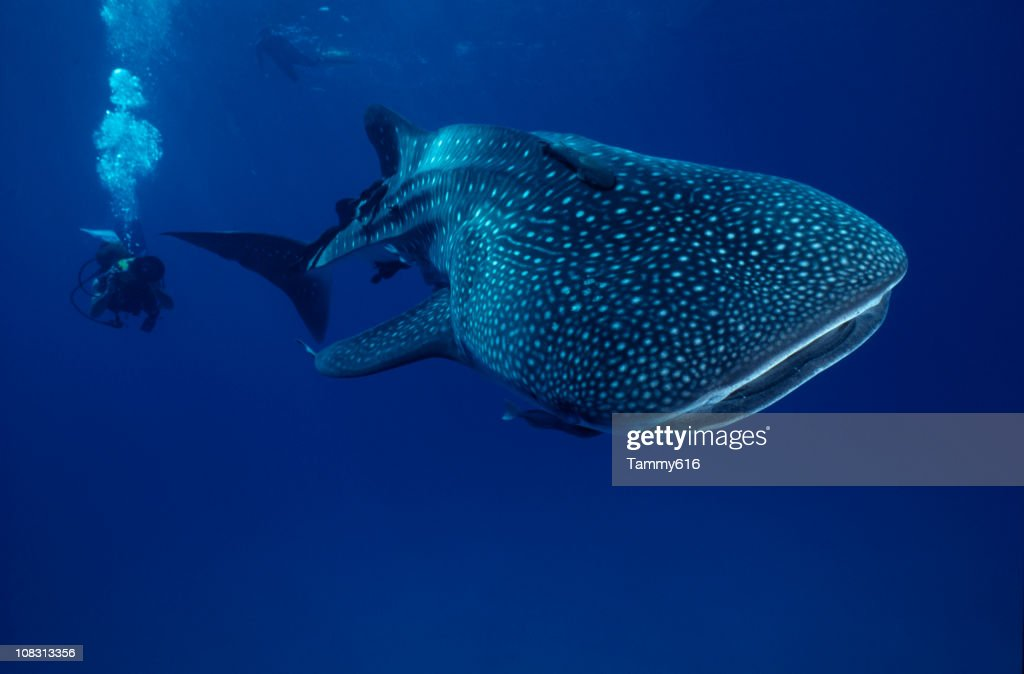 Mr. Big ...whale shark : Stock Photo