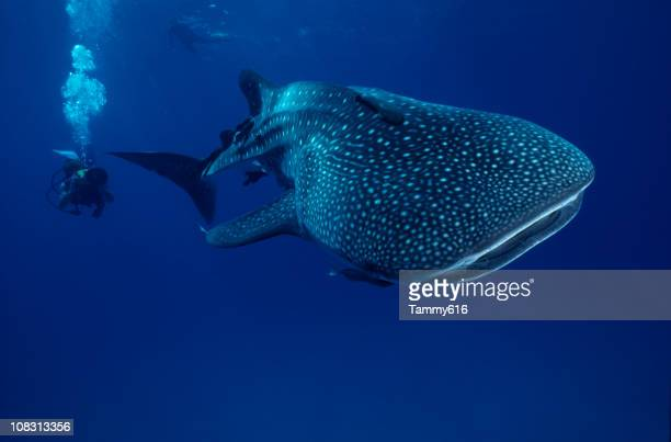 mr. big ...whale shark - sea of cortez stock pictures, royalty-free photos & images