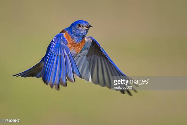 mr. bluebird - male animal stock photos and pictures