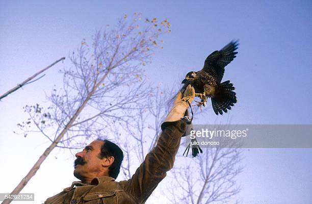 Mr Boulitreau a falconer on the grounds of Chateau d'Asson has just lured back his bird who had gone some distance away The falcon lands on his wrist...