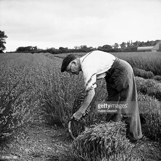 Mr Harry Ashford uses a sickle to cut lavender on a flower farm at Cliffs End near Sandwich in Kent England ca 1950 | Location Cliffs End near...