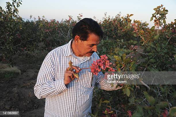 Mr Mahmoud Barani looking at the pistachio tree in his orchard on October 5 2011 in Zarandieh Iran Approximately 500 hectares of land owned by Mr...