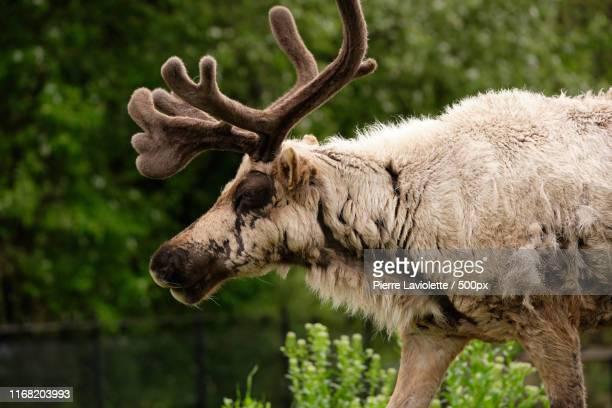 mr majestik - mamífero fotografías e imágenes de stock