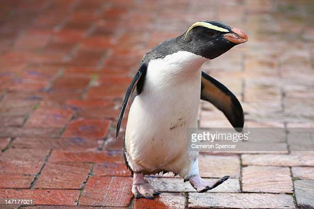 'Mr Munro' a Fiordland penguin walks leaving his paint prints on tiles at Taronga Zoo on June 27 2012 in Sydney Australia Taronga and Western Plains...