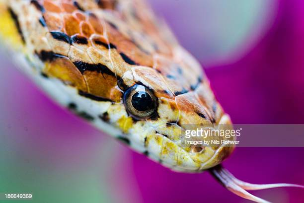 mr slithers - corn snake stock pictures, royalty-free photos & images