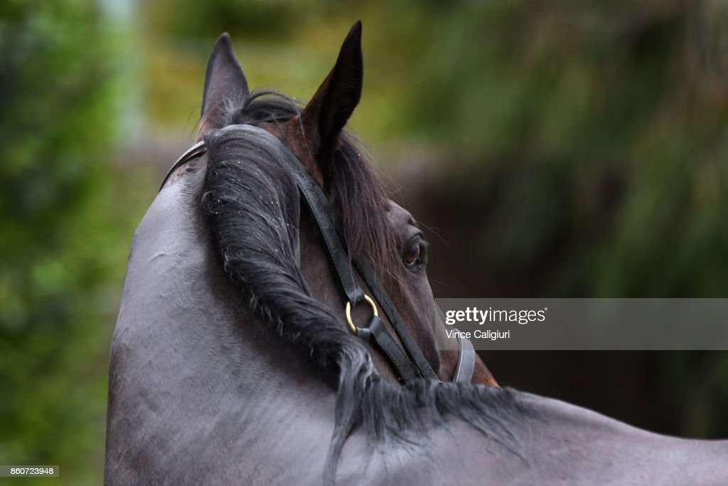 Mr Sneaky from the Anthony Freedman stable is seen after having a swim during a Trackwork Session at Flemington Racecourse on October 13, 2017 in Melbourne, Australia. Mr Sneaky will contest the Group One Toorak Handicap at Caulfield tomorrow.