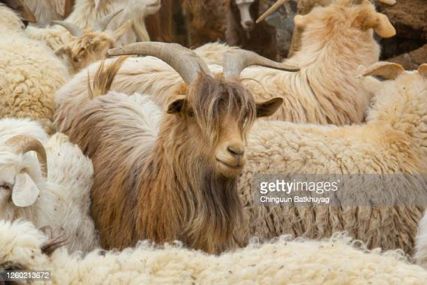 mr. steal-your-girl goat - cashmere stock pictures, royalty-free photos & images