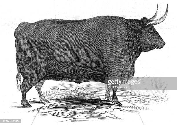 Mr. T. W. Fouracre's 3 yrs. 11 mo. Old Devon steer - 1st prize, £30 - second class - and silver medal, 1845. Livestock show organised by the...