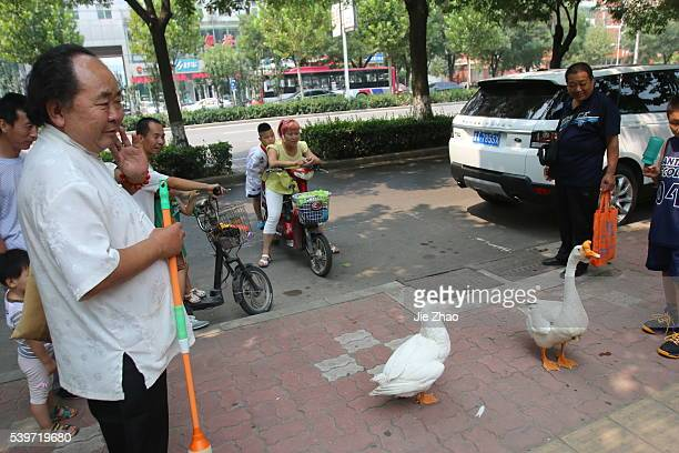 Mr Zhang 58 years old takes gooses to walk on the street in Shijiazhuang city Hebei province China on 29th August 2015 He have done this each day...