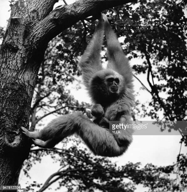 Mère gibbon suspendue à une branche en portant son petit en Inde