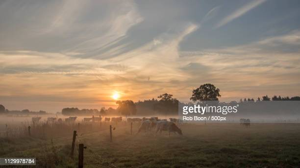 mrij cattle in the netherlands - overijssel stock pictures, royalty-free photos & images