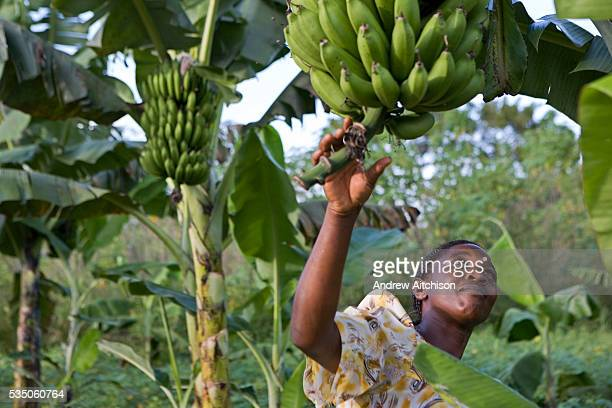 Mrs Beatrice Sebyala examines her plantain crop at her farm She is the chairperson and a group leader for the Basokakwayula group one of the groups...