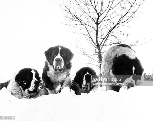 Mrs Evans� family of St Bernard dogs near Macclesfield Lottie gave birth to twins after being rescued from a snow drift