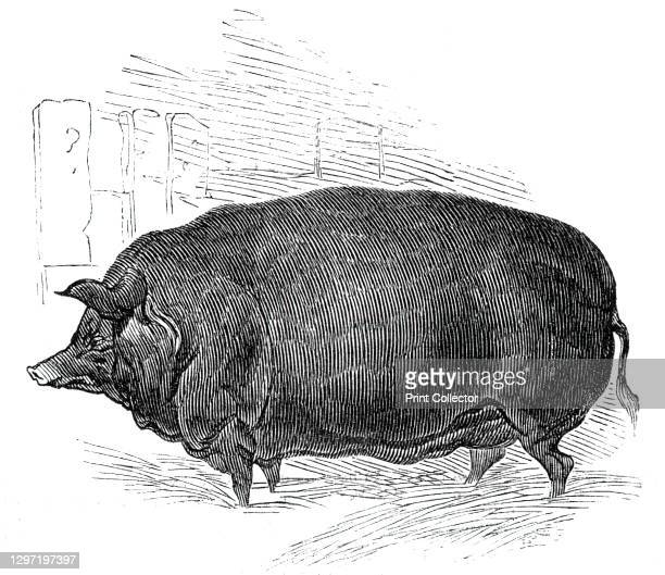 """Mr.W. F. Hobbe's improved Essex boar, 1844. Exhibit at the Southampton meeting of the Royal Agricultural Society of England. From """"Illustrated London..."""