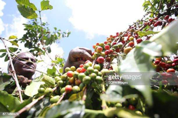 Ms Salome Wacheke a farmer tends his coffee at his farm in Gichathaini village in Nyeri County 125 Kilometers North of Kenyas capital Nairobi...