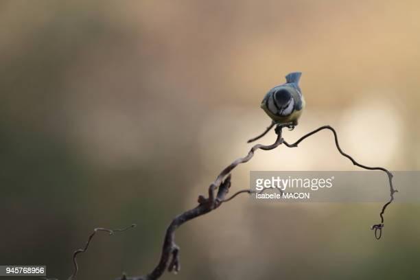 Msange sur une branche