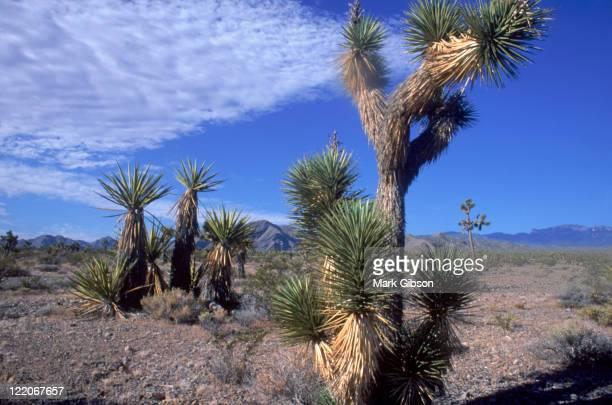 Mt Charleston, NV, Joshua Tree Desert and yucca