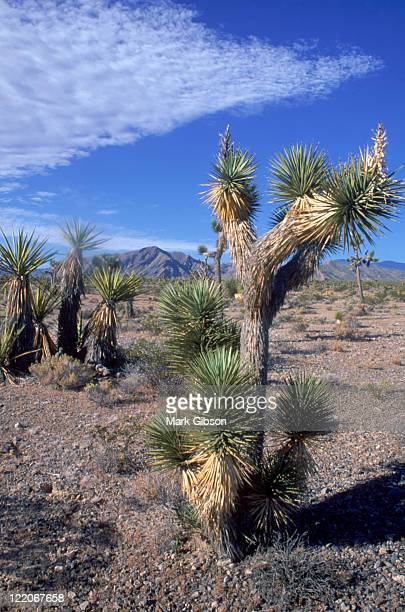 mt charleston, nv, joshua tree desert and yucca - mt charleston stock photos and pictures