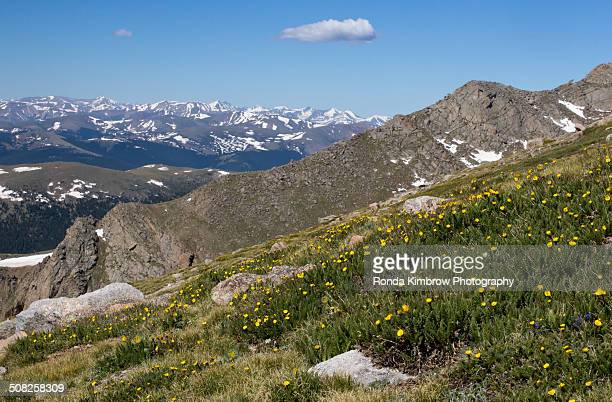 Mt Evans wildflowers blooming on the tundra
