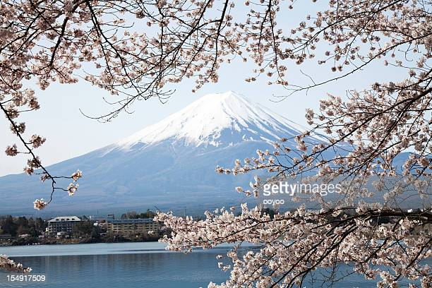 Mt. Fuji and cherry blossoms in spring