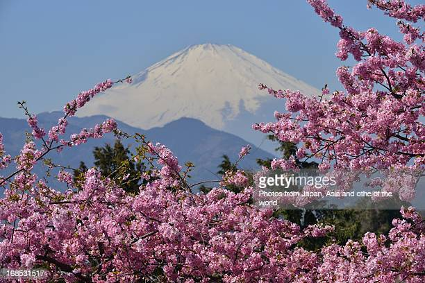 Mt Fuji and Cherry Blossoms